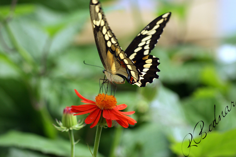 Photo By Robert Bodnar........................Giant Swallowtail Butterfly