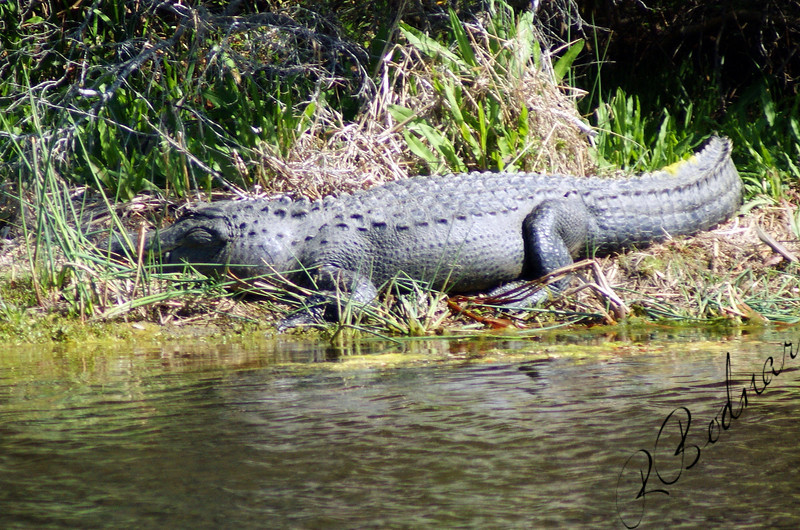 Photo By Robert Bodnar...................... Now this is a Big Gator