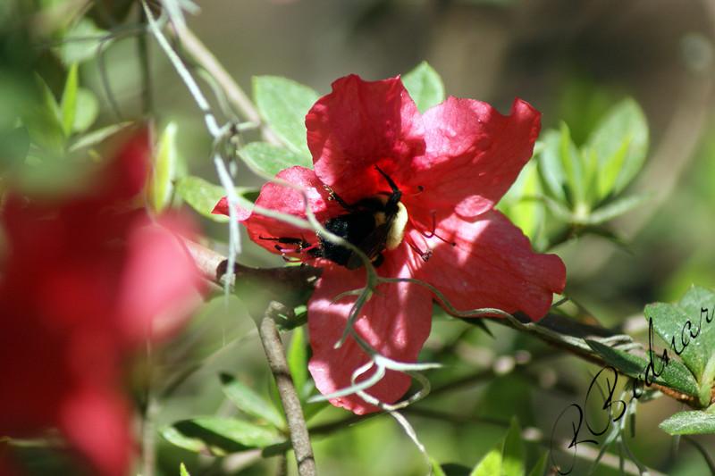 Photo By Robert Bodnar..........................Bumble Bee