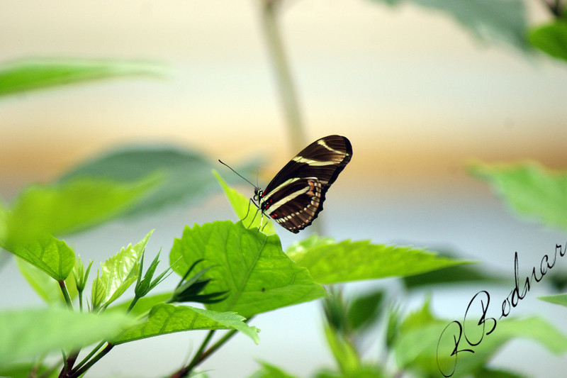 Photo By Robert Bodnar...............Zebra Heliconian Butterfly