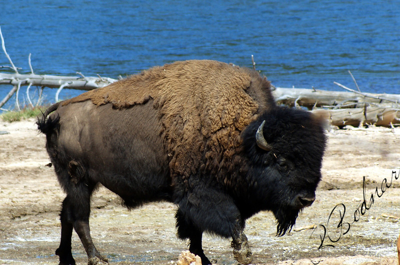Photo By Bob Bodnar.......................................Yellowstone Buffalo, or some will call Bison