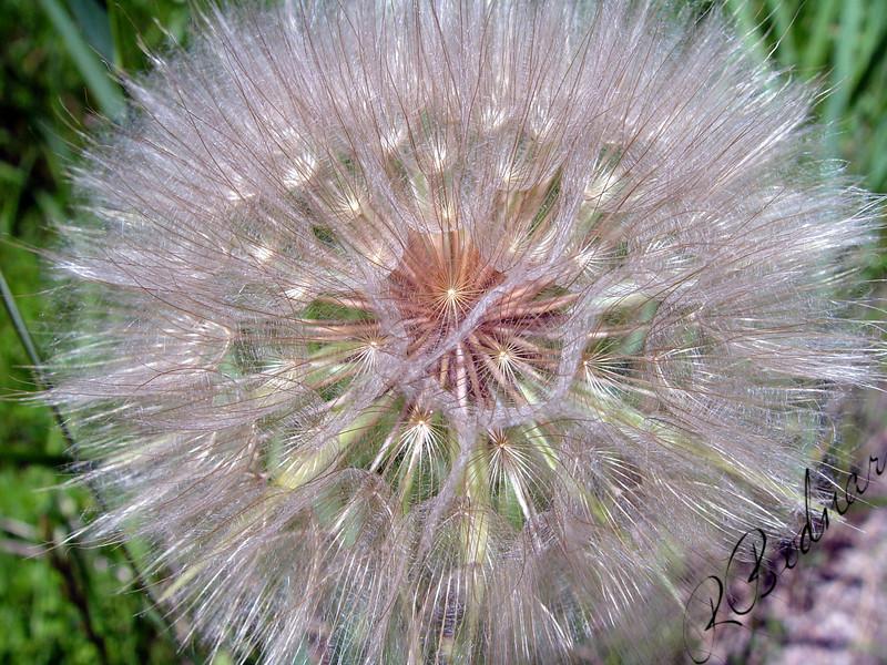 Photo By Bob Bodnar.................................................Wildweed close-up