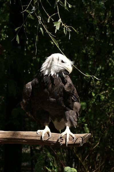Photo By Robert Bodnar...........Eagle
