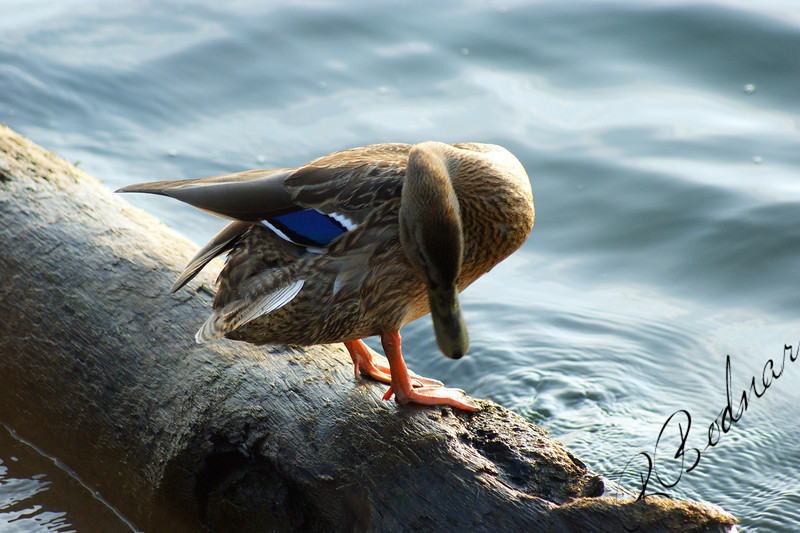 Photo By Robert Bodnar....................Mallard Duck Taken at Lorain Harbor