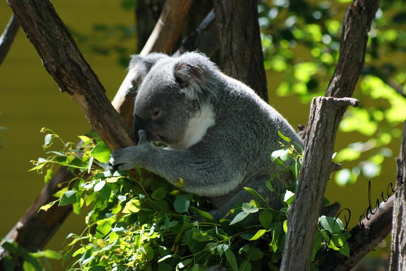 Photo By Robert Bodnar...............................Koala Bear