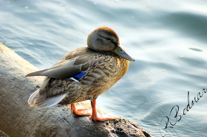 Photo By Robert Bodnar.......................Mallard Duck Taken at Lorain Harbor