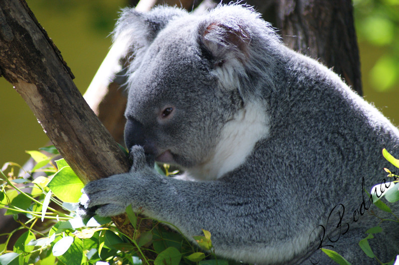 Photo By Robert Bodnar............................Koala Bear