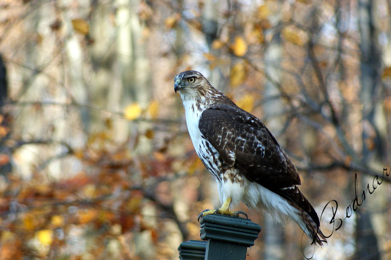 Photo By Robert Bodnar...................Hawk at sandy Ridge