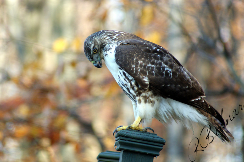 Photo By Robert Bodnar..........................Hawk at Sandy Ridge