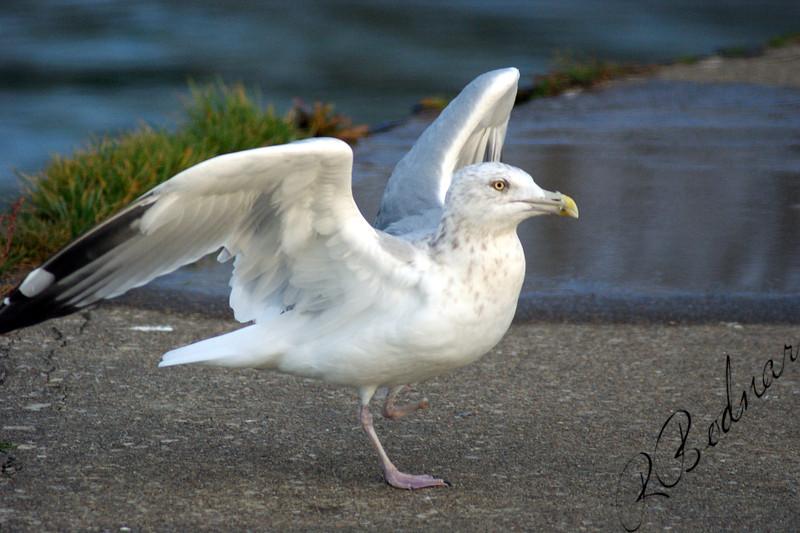 Photo By Robert Bodnar.................Seagull in Lorain Ohio