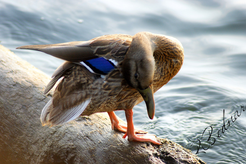 Photo By Robert Bodnar........................Mallard Duck Taken at Lorain Harbor