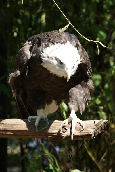 Photo By Robert Bodnar........................Eagle
