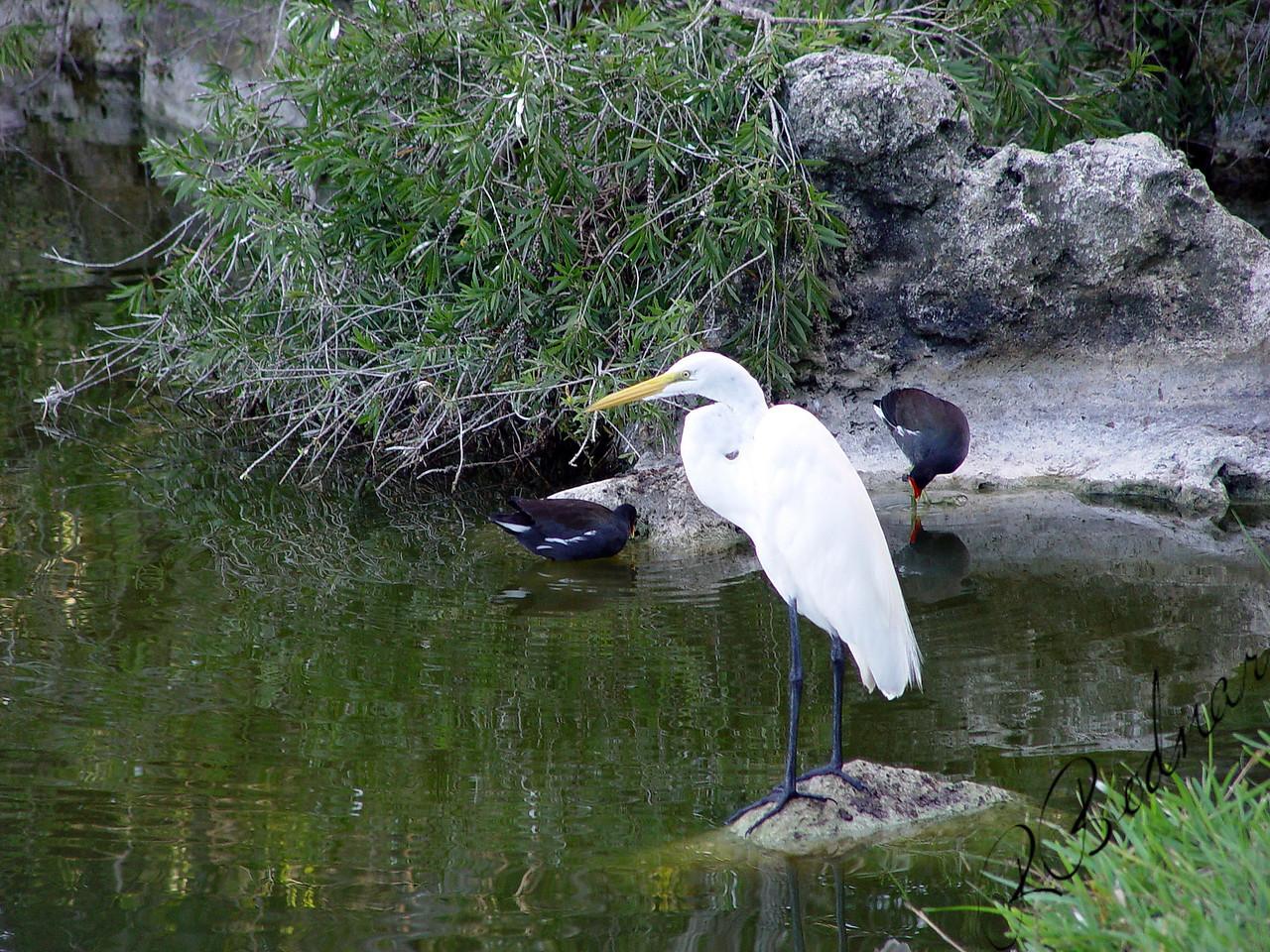 Photo By Robert Bodnar............................Great Egret...Seminole Lake, Seminole, FL.