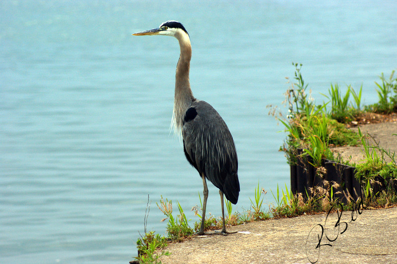 Photo By Robert Bodnar.....................Blue Heron at Lorain's Mile Long Pier