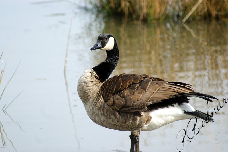 Photo By Robert Bodnar......................Duck at Sandy Ridge