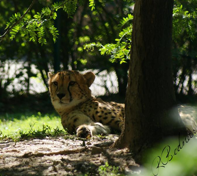 Photo By Robert Bodnar...............................Cheetah