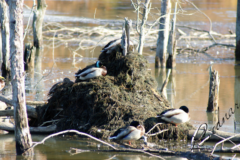 Photo By Robert Bodnar.........................Duck House, Sandy Ridge Metro Park
