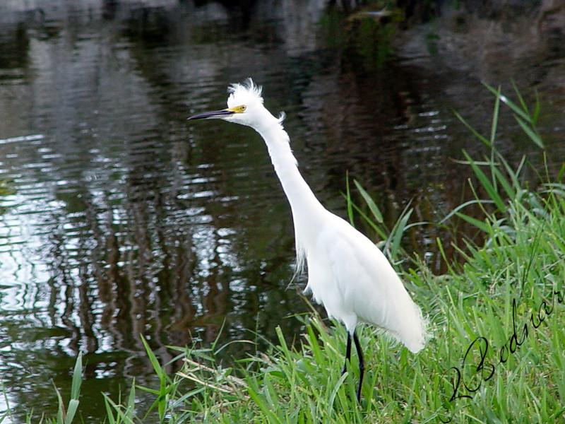 Photo By Robert Bodnar.......................................Snowy Egret...Seminole Lake, Seminole FL.