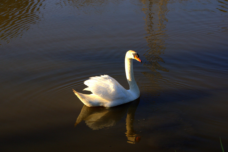 Photo By Bob Bodnar........................Swan on Lake Logan