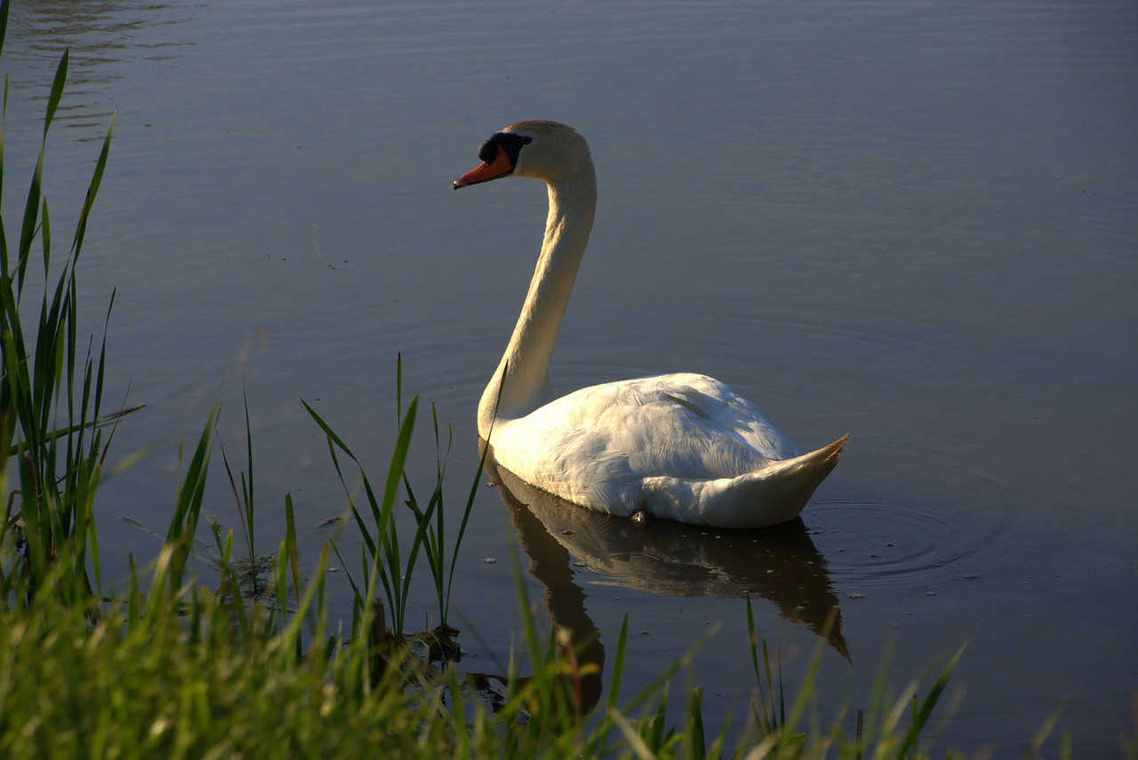Photo By Bob Bodnar...............Swan on Lake Logan