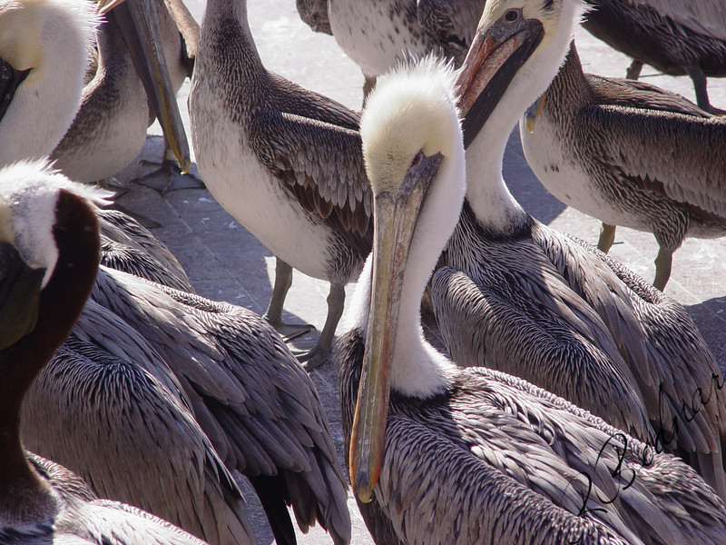 Photo By Robert Bodnar....................Pelicans, at Pier One in Tampa FL.