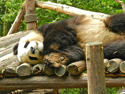 Panda Nap Time!