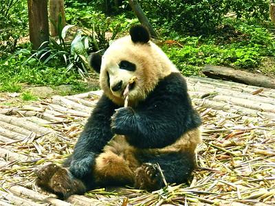 Bamboo Munching