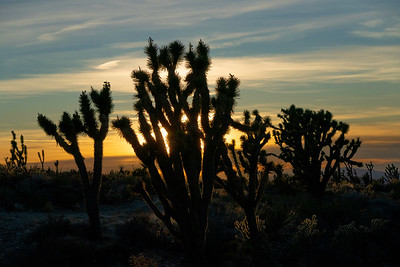 Joshua Trees at Sunset in Mojave National Preserve