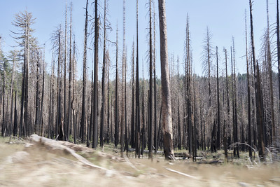 Burned Trees in Yosemite