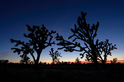 Joshua Trees during Blue Hour in Mojave National Preserve