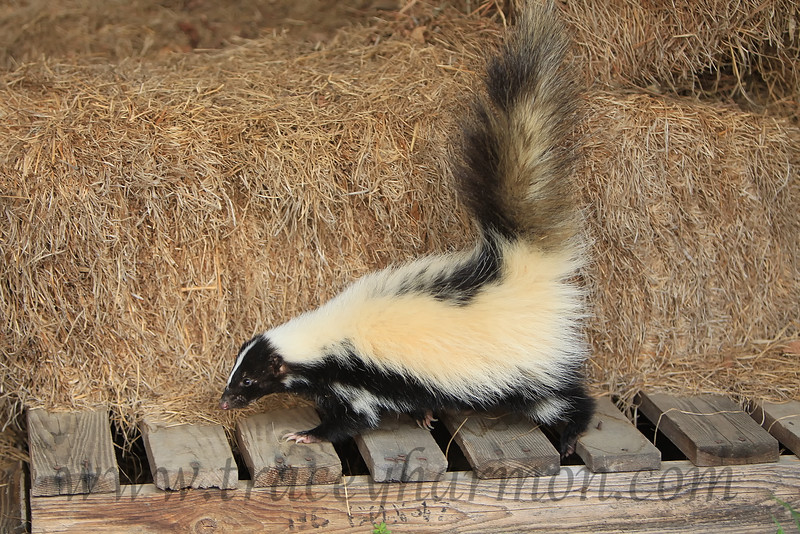 Striped Skunk, Oklahoma