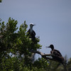 Isla Contoy<br /> Male and Female Frigates