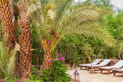 Pretty desert oasis garden, with date palms and bougainvillea.