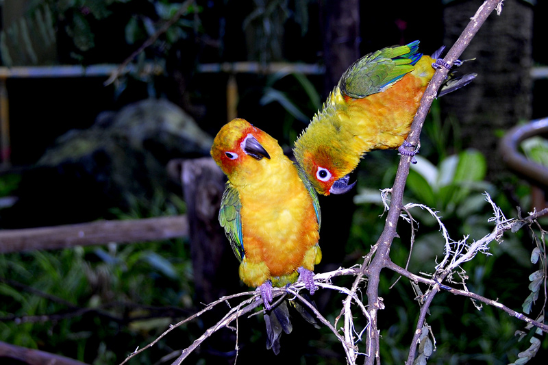 It is October in the Philippines. Is it mating season for parrots?