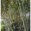 This is a small bamboo grove at the Ayala Park near the apid transit station.