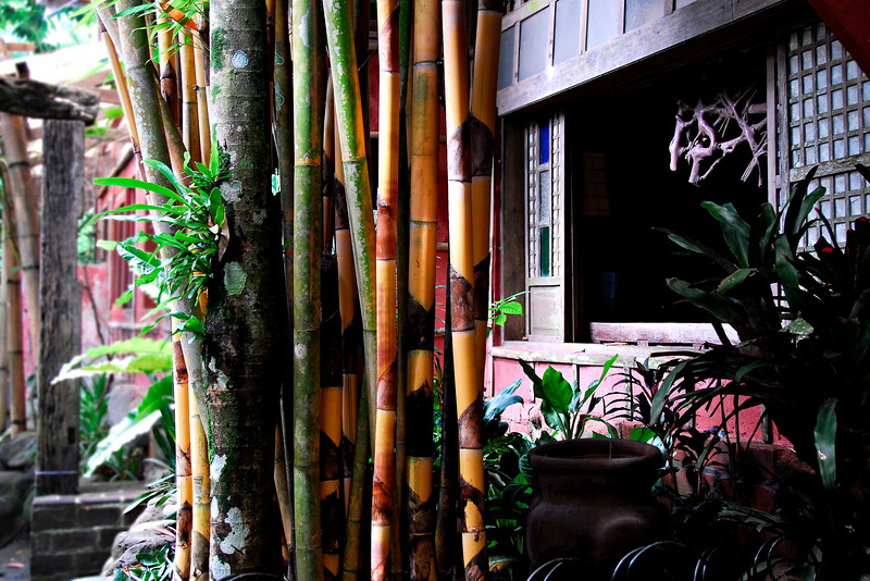 Very attractive yellow bamboos as seen from the dining room.