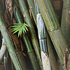 Rare bamboo types and  young bamboo leaves sticking out of the clump.