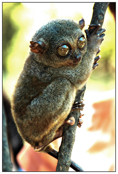 Tarsiers are known as vertical clinger and leaper in that it cling on to the trees and branches with it's tail and the suction cups on it's fingers and leap from branch to branch. It has elongated tarsus bones and a fused fibula and tibia which all helps it to leap from one branch to the other and doing this it can travel distances without touching the ground.<br />       Phylum: Chordata<br />       Class: Mammalia<br />       Order: Primates<br />       Family: Tarsiidae<br />       Common Name: Philippine Tarsier