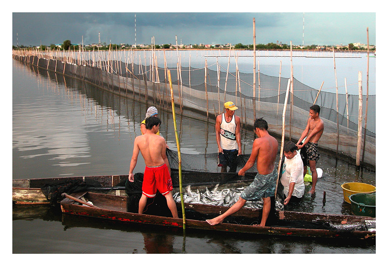 A view of the milk fish harvest and the happy fishermen.