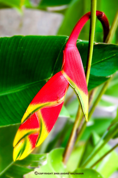 a bud of the Birds of Paradise flower.