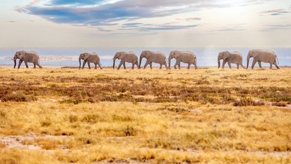 A herd of African elephants marching in a single file line, shimmering in the intense heat reflecting from the ground.