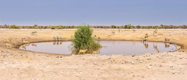 A drink at the waterhole. Zebra, giraffe, kudu, warthogs, and impala sharing a water source.
