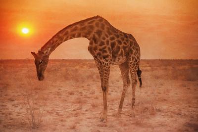 Giraffe Grazing