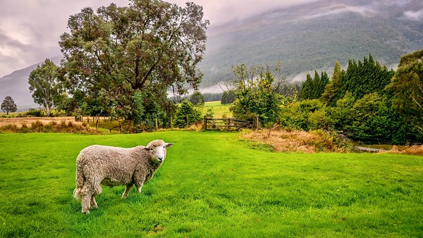 A solitary sheep stands in a beautiful green pasture on a sloping hillside in a picturesque landscape scene on a misty morning in New Zealand.