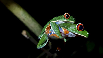 Red Eye Frog, Costa Rica