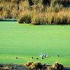 The fringes of the lake are full of reed plants and are breeding areas for water fowls. Here the light green water plants look like moss on the water.