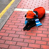 A street scene - Even dogs wear alpaca scarf.