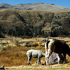 A typical sight along the road are sheeps and alpacas.