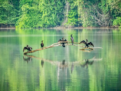 A group of adult neotropic cormorants (Phalacrocorax brasilianus, a freshwater species) perched on a tree branch in an oxbow lake, with wings spread, drying their plumage.