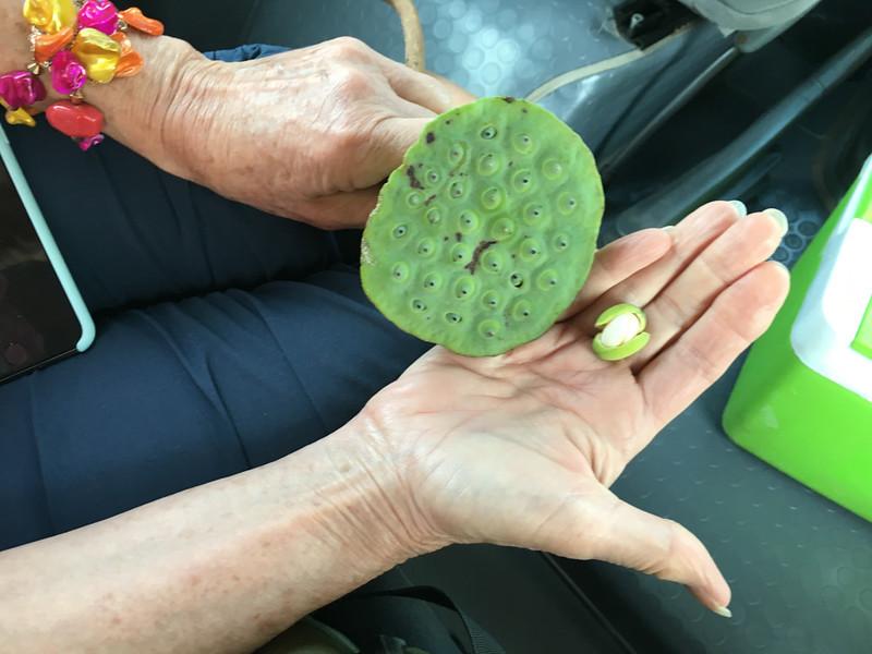 lotus seed inside pod